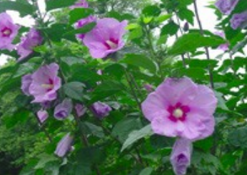 althea in bloom