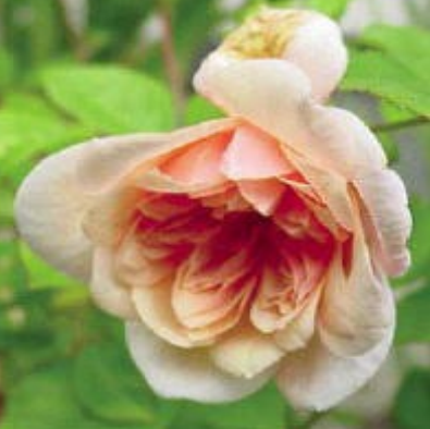 perle dor in bloom
