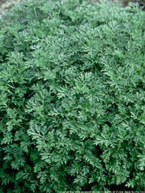 Artemesia to illustrate the green leafy perennial