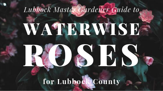 lubbock master gardener guide to waterwise roses