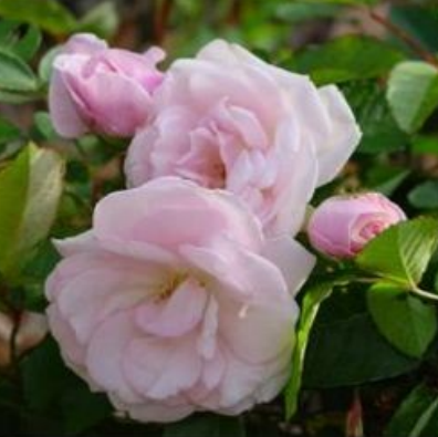 marie daly in bloom
