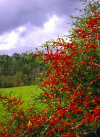 Yaupon holly with berries