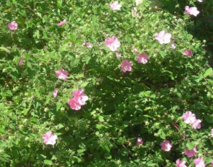 rock rose in bloom