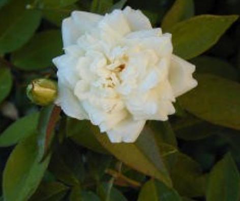 ducher in bloom