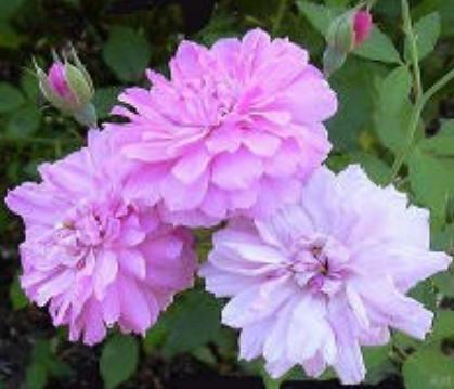caldwell pink in bloom